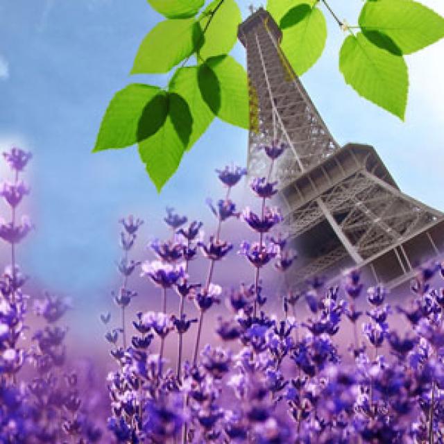 Olejek zapachowy - Francuska lawenda - do produkcji świec, mydła, kremów, balsamów, toników i innych kosmetyków