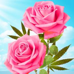 Konopie i róża