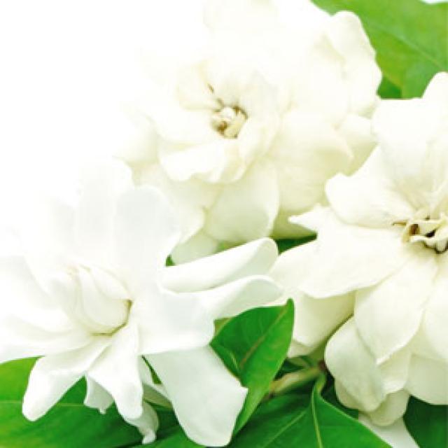 Olejek zapachowy - Biała Gardenia - do produkcji świec, mydła, kremów, balsamów, toników i innych kosmetyków