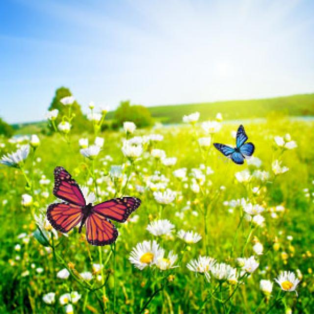 Olejek zapachowy - Motyle na łące - do produkcji świec, mydła, kremów, balsamów, toników i innych kosmetyków