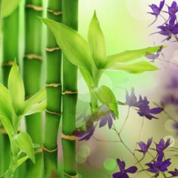 Australijski Bambus