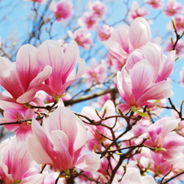 Olejek zapachowy - Magnolia in Bloom (Kwitnąca Magnolia) - do produkcji świec, mydła, kremów, balsamów, toników i innych kosmetyków