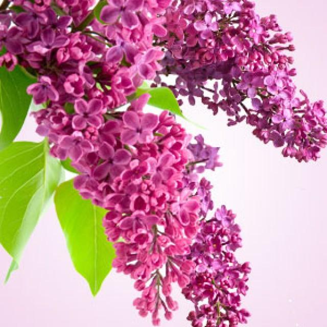 Olejek zapachowy - Lilak - do produkcji świec, mydła, kremów, balsamów, toników i innych kosmetyków