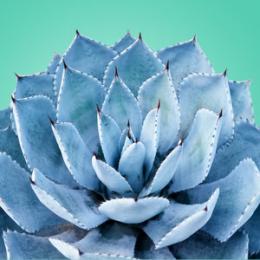 Blue Agave 30 ml (Niebieska agawa)