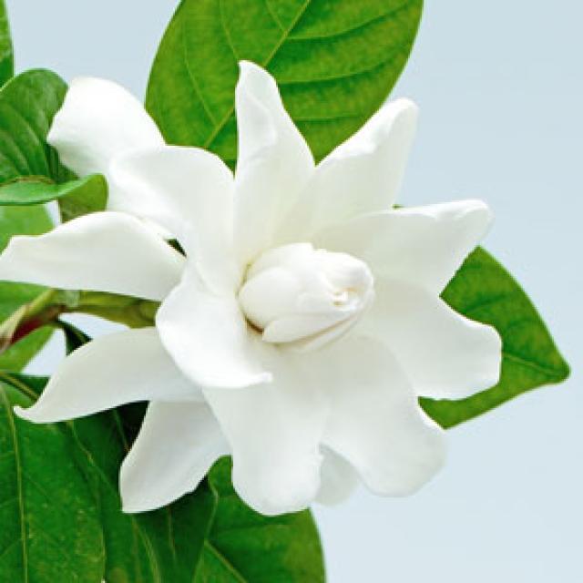 Olejek zapachowy - Gardenia 30 ml - do produkcji świec, mydła, kremów, balsamów, toników i innych kosmetyków